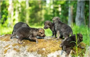 Naissance de louveteaux dans le Jura vaudois