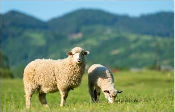 2020: bilan des attaques de grands prédateurs sur le bétail